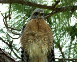 falco dalle spalle rosse (buteo lineatus)