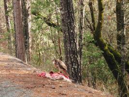falco che mangia l'uccisione della strada