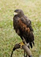 falco di harris foto