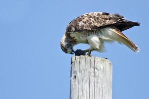 Falco coda rossa che mangia una tartaruga foto