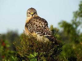 falco dalle spalle rosse (buteo lineatus) foto