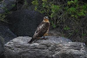 falco delle Galapagos appollaiato su una roccia