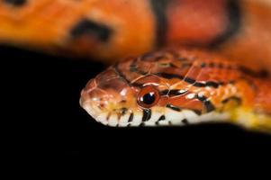 Testa di serpente di mais okeetee foto