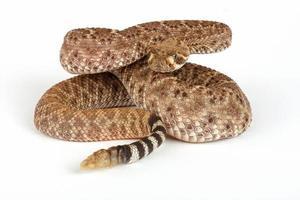 serpente a sonagli diamondback occidentale (crotalus atrox). foto