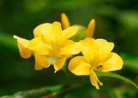 barleria lupulina fiore di tiglio foto