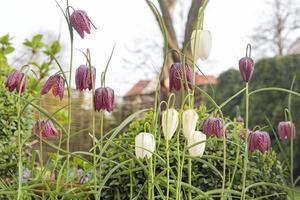 fiori di meleagris fritillaria all'aperto foto