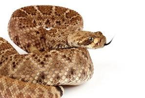 serpente a sonagli diamondback occidentale su priorità bassa bianca. foto