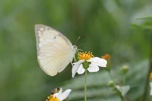 la farfalla foto