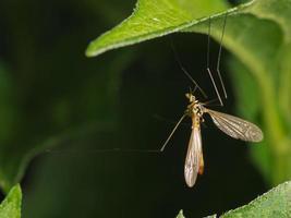 mosca della gru foto