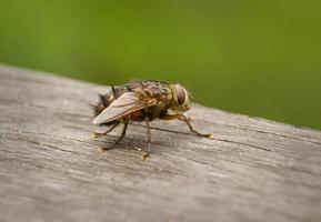 mosca australiana che si siede sul pezzo di legno