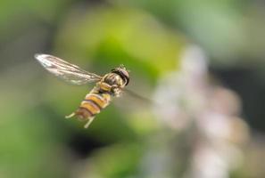 hoverfly nella foresta foto