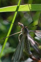 zanzara riparius culicidae in verde foto