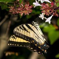 farfalla a coda di rondine orientale foto
