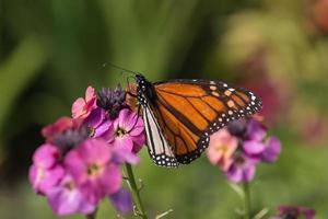farfalla monarca nutrendosi di fiori rosa