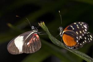 coppia di farfalle foto