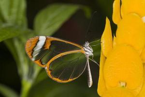 farfalla glasswing foto