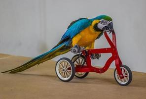 pappagallo in sella a una bicicletta. foto