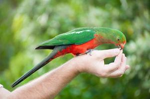 re-pappagallo foto
