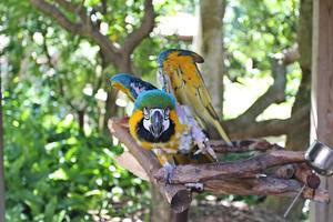 pappagallo giallo foto