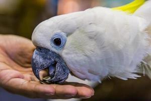 cacatua giallo (cacatua sulphurea) mangiare foto