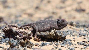 caccia al camaleonte namaqua nel deserto del namib