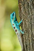 Iguana blu sul ramo di un albero