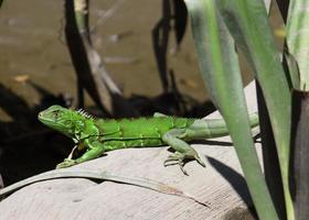 Iguana in Costa Rica foto