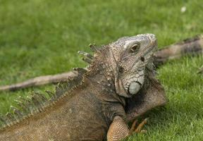 Iguana verde in un parco cittadino foto