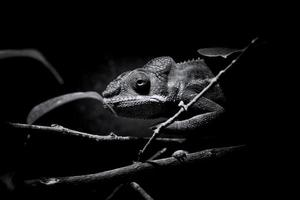 camaleonte pantera furcifer pardalis nero / bianco foto