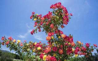 bellissimo cespuglio di rose su uno sfondo di cielo blu