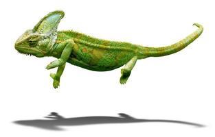 primo piano colorato camaleonte isolato su bianco con ombra