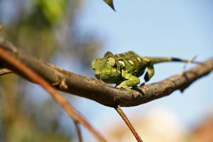 camaleonte tappeto (furcifer lateralis) - raro endemico del madagascar foto