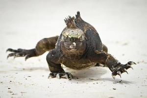 iguana marina che cammina dritto verso di te foto