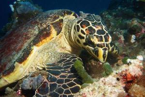 la tartaruga embricata pranza sulle alghe sulla scogliera delle Maldive foto