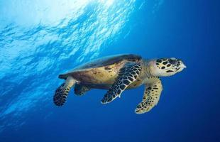 tartaruga di mare / eretmochtelys imbricata foto