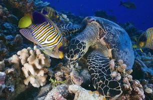 tartaruga di mare / eretmochelys imbricata foto