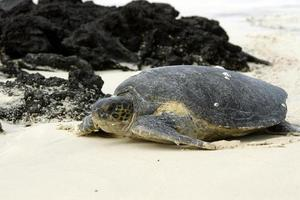 tartaruga verde delle Galapagos foto
