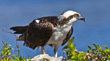 Osprey (falco di mare) che si appollaia, ritratto foto