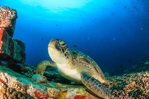 tartaruga verde su una scogliera artificiale