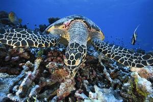 tartaruga di mare / erethmochelys imricata foto