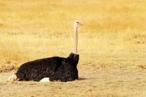 struzzo masai mara foto