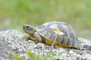 la tartaruga speronata o la tartaruga greca (testudo graeca) foto