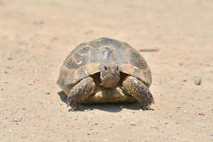 tartaruga nell'erba in dobrogea foto