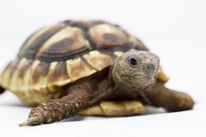 giovane tartaruga su uno sfondo bianco foto