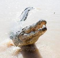 coccodrilli saltando il fiume aidelaide Australia foto