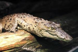 giovane alligatore foto