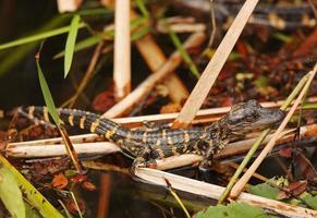 alligatore del bambino in everglades, florida foto