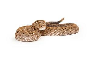 serpente a sonagli aruba pronto a colpire