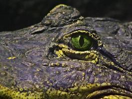 occhio di un coccodrillo foto