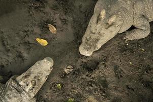 concetto di coccodrillo caccia aggressivo morso testa di alligatore foto